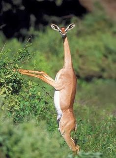 The Gerenuk - 22 Bizzarre Animals You Probably Didn't Know Exist