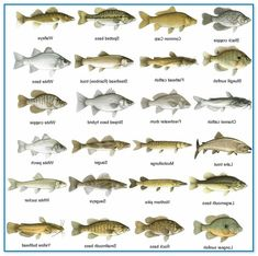 Different types of freshwater fish