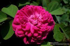 Rose de Rescht - portlandka - 120x70 Flowers, Plants, Plant, Royal Icing Flowers, Flower, Florals, Floral, Planets, Blossoms