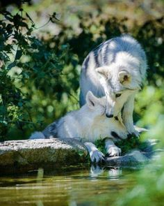 "Let us answer the question ""what do arctic wolves eat?"" and discuss some interesting facts about this rare wolf species diet. Arktischer Wolf, Wolf Love, Wolf Howling, Wolf Spirit, Spirit Animal, Mundo Animal, My Animal, Beautiful Creatures, Animals Beautiful"