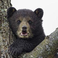 Black Bear Cub in a Tree  by Daniel Parent http://500px.com/photo/7662367