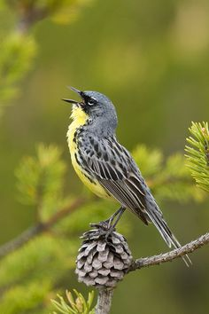 Kirtland warbler(Setophaga kirtlandii)  in song. A rare bird of the Michigan jack pine forests, the Kirtland's Warbler is dependent upon fire to provide the small trees and open areas that meet its rigid habitat requirements for nesting.
