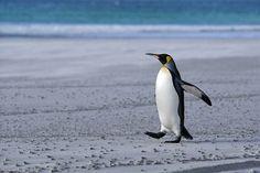 Antarctica: King Penguin - Natural World Safaris