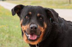 Petango.com – Meet Raven, a 8 years 3 months Rottweiler available for adoption in COLORADO SPRINGS, CO