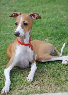 I want an Italian Greyhound just like this one!