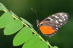 An adult Tithorea harmonia (Harmonia Tiger-wing)