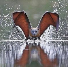 grey-headed flying bat Flying Fox of Australia. This is a spectacular photo! Nature Animals, Animals And Pets, Baby Animals, Cute Animals, Fruit Animals, Wildlife Photography, Animal Photography, Beautiful Creatures, Animals Beautiful