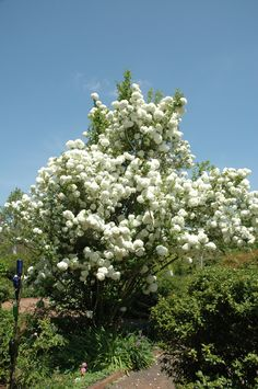 Snowball Viburnum in the Cottage Garden during spring.
