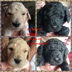 St.Poodle babies!