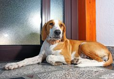istrian shorthaired hound | This Beautiful Istrian Shorthaired Hound dog wallpapers viewed 848 ...