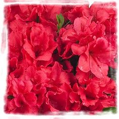 AZALEA Bloom-A-Thon Red.  *The large bright, intense red flowers begin just as springs arrives in April and continue to stay in color all the way up to the first frost.