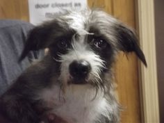Chloe is an adoptable Poodle Dog in Shelbyville, IN. Welcome to Petfinder, the greatest website to find your next furry friend.  This is Chloe who was relinquished to the animal shelter yesterday, Aug...