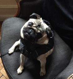 Pug Meme, Pug Cartoon, Cute Pug Pictures, Cute Pugs, Diamond Are A Girls Best Friend, Cute Baby Animals, Bull Terrier, Cute Babies, Best Friends