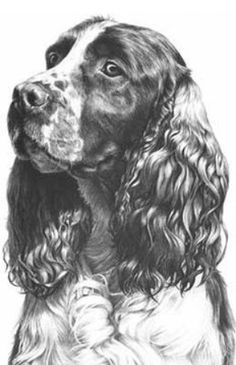 Top quality open edition head study canine art, dog prints from graphite pencil drawing by Mike Sibley. The art of dogs in Limited and Open Editions. Animal Paintings, Animal Drawings, Drawings Of Dogs, Dog Pencil Drawing, English Springer Spaniel, English Cocker, Cocker Spaniel Dog, Black And White Drawing, Dog Portraits