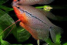 gurami-mozaikowe-gourami-perlowe-ryba-2.jpg (672×450)