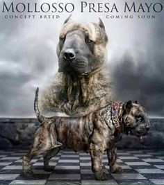 """This better not be true!!! There are already an abundance of animals being murdered every day in shelters especially """"bully"""" breeds. The last thing we need is to breed more just so they get murdered too or are used in dog fighting rings. -- Time for a new Breed? Bull terrier x american bully x presa canario. What do you think about? #americanbully"""