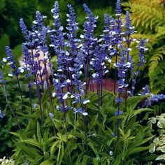 """""""Fairy Queen' Salvia.  Extraordinarily heavy flowering, neat, bushy plants produce extra long, 10 inch spikes of rich, dark blue and white bicolor flowers. A Fleuroselect Novelty Award winner."""