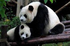 Ok, who doesn't love a big fluffy panda?<3