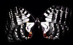 Fekete-fehér pillangó háttérkép