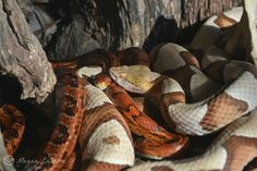 Corn snake and a copperhead snake.
