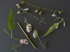 Manyray aster in fall.  Hairs on stem and leaves as well as differences between main stem leaves and greatly reduced leaves within inflorescence can be seen.