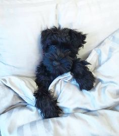 See this Instagram post by @schnauzerworld • 1,994 likes