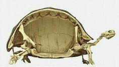 Schildpad skelet