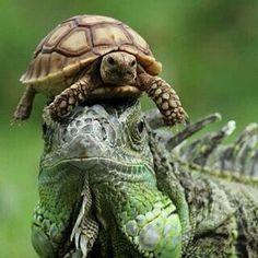 Turtlecap #turtle #leguana #reptile #animals #wildlife