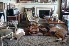 Figlia dell'attrice e modella Tippi Hedren, musa di Hitchcock e protagonista del film ''Gli Uccelli'', Melanie Griffith ha vissuto un periodo della sua infanzia insieme ad un leone. Dopo un viaggio in Africa nel 1977 sul set del film 'Roar' (Il grande ruggito) sua madre si appassionò ai leoni a tal punto da portare con sè in California un esemplare maschio, Neil. Libero di circolare nella villa, in piscina o in cucina, in questi scatti lo vediamo partecipare...