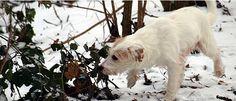 Parson Russell Terrier Hündin - Phoebe