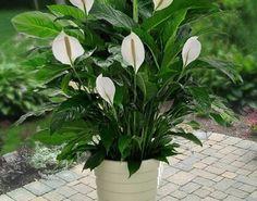 Fericirea femeii (Spathiphyllum) planta-talisman! - Retete Usoare Bonsai, Garden, Flowers, Horsehair, Plant, Flower Gardening, Lilies, Ad Home, Dekoration