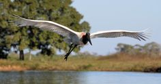 Jabiru in flight by Ian Barker