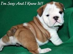 If a bulldog would stay this small, I would have one tomorrow!