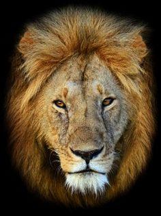 A lion in Masai Mara National Park in Kenya.Photo: iStock