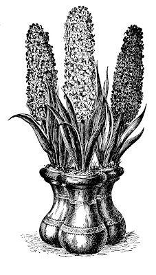 Hyacinth X 3