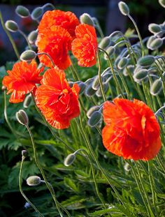 This reminds me of a photo I bought in Europe in 1996. It still hangs in my home. I'd love to see a real field of poppies.