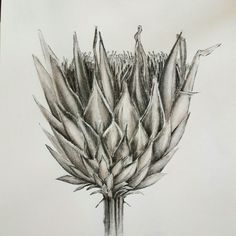 Charcoal pencil on paper King Protea Melissa Von Brughan  Commissions vonbrughan@gmail.com Protea Art, King Protea, Charcoal, Weird, Pencil, Abstract, Tattoos, Paper, Artwork