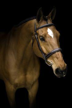 Nicole Schultz Photography Jacksonville, FL #nicoleschultz #photography #equine #blackbackground #equestrian #floridahorsephotographer #floridahorse #nicoleschultzphoto