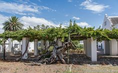 Oldest grape vine in South Africa at Reinet House museum, Graaff-Reinet Old Buildings, Grape Vines, South Africa, Things To Do, National Parks, Places To Visit, Museum, History, Nature