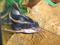 Love love love these fish  Raphael Catfish   (striped)