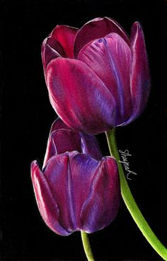 Pencil Drawing Tutorials Tulips - Drawing by shaynaJreddick - Tulips Art, Black Canvas Art, Tulip Drawing, Tulip Painting, Oil Pastel Drawings, Black Paper Drawing, Plant Drawing, Oil Pastel Art, Color Pencil Art