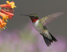 Ruby-throated Hummingbird - Archilochus colubris plants that attract hummingbirds: http://www.hummingbirds.net/attract.html