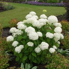 'Annabelle' Hydrangea | Part Shade ▪ (H) 3-5' (W) 3-6' ▪ Bloom: June through September ▪ Zone 3-9. Most reliable shade-tolerant flowering bush.