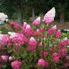 Hydrangea paniculata Fraise Melba® 'Renba' sur www.clematite.net