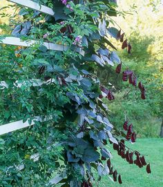 With dark leaves, midsummer blossoms, and bean pods come fall, the hyacinth bean annual offers three to four months' worth of interest.