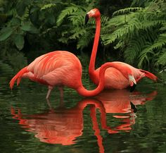 flamingos...and their reflections.  These beauties are my favorite in the bird world.