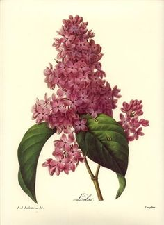 Redoute Botanical Flower Print ~Lilac