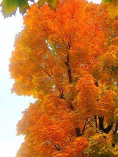 maple tree | da akattara