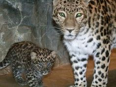 Meet Sochi the adorable Amur Leopard cub, one of the last members of his species (30 left in the wild)