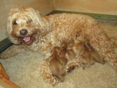 Home page High-Time Australian Labradoodle Puppies, Labradoodles, High Times